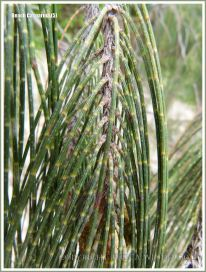 'Jointed' branchlets of the Beach Casuarina