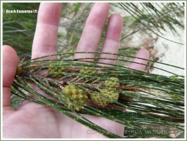 'Jointed' branchlets and fruit of the Beach Casuarina