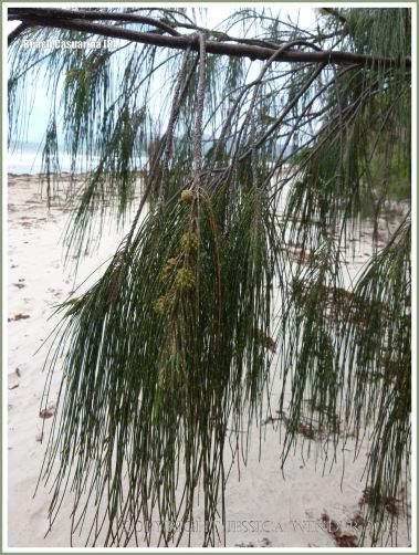 Drooping branchlets and fruit of the Coastal She-oak