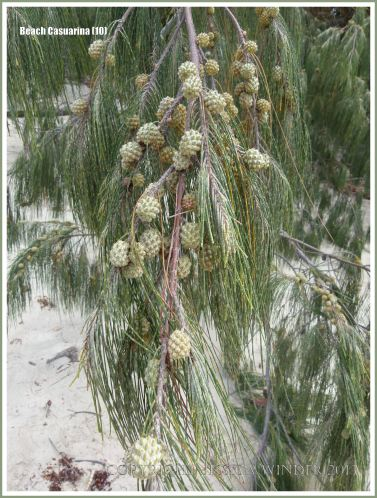 Drooping branchlets and fruit of the Coastal She-oak or Beach Casuarina