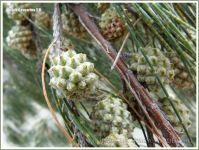 Fruit of the Beach casuarina or Coastal She-oak