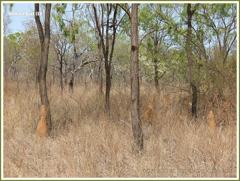 Trees and termite mounds in the Australian outback