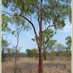 Trees in the Australian outback