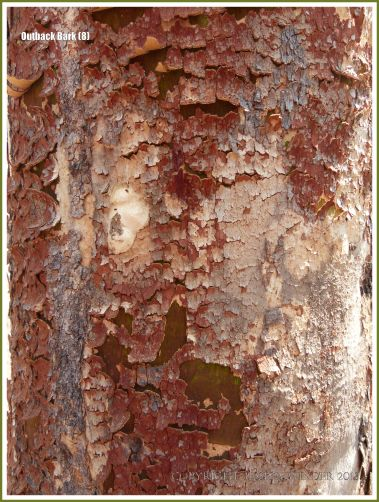 Tree bark texture in the Australian outback