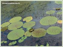 Various types of water lily leaves at Centenary Lakes