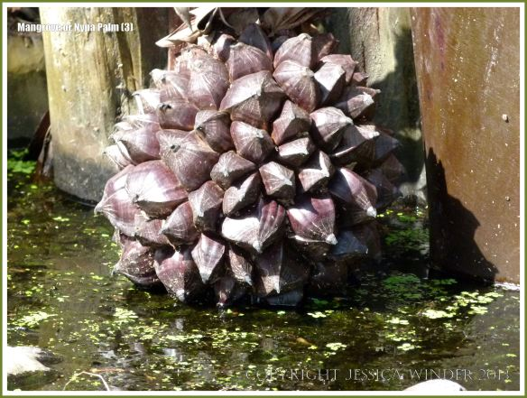 Fruit of the Mangrove Palm dangling in the water