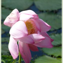 Pink lotus flower at Centenary Lakes