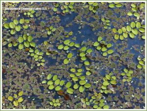 Floating leaves of aquatic plants at Centenary Lakes