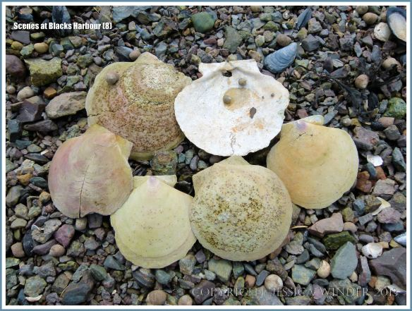 Empty scallop shells on beach stones