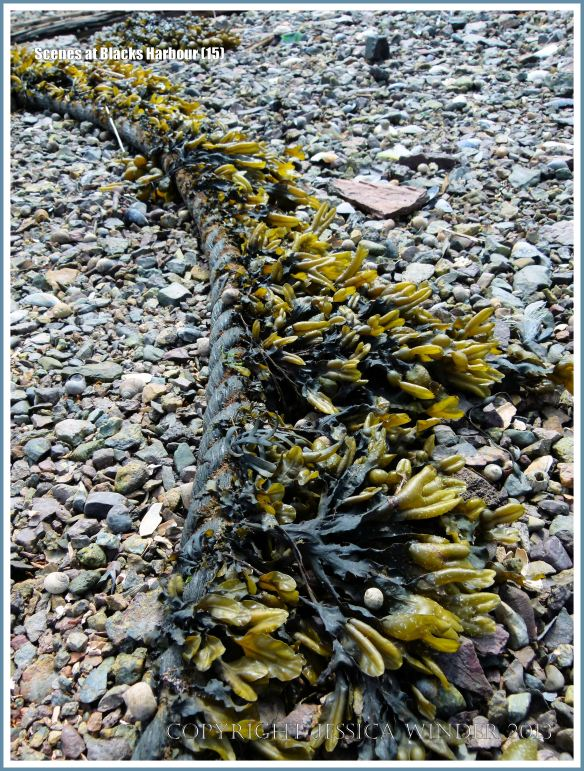 Mooring rope with attached seaweed on the beach