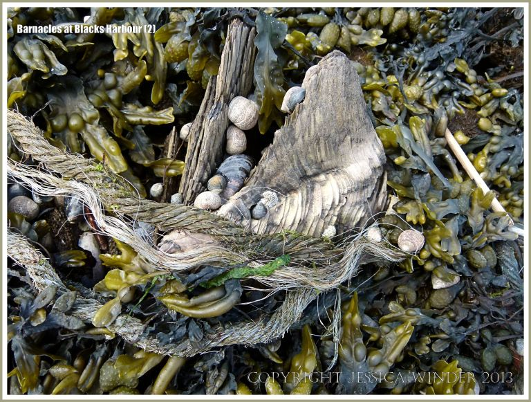 Bay of Fundy barnacles on wood with periwinkles and seaweed