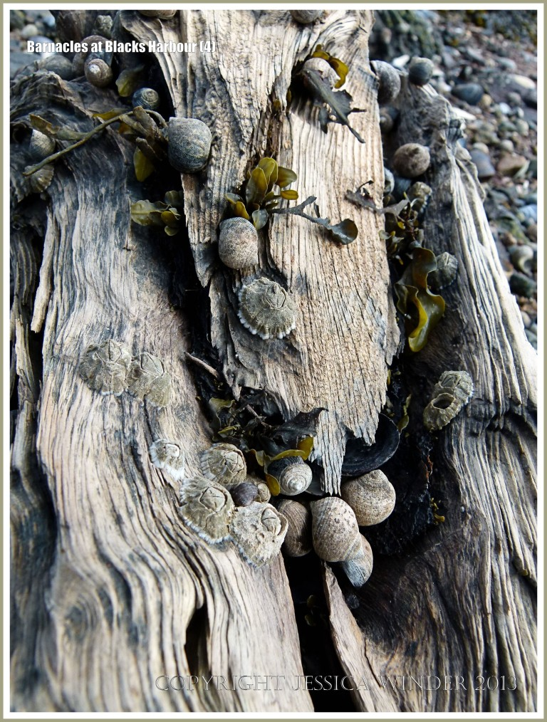 Bay of Fundy barnacles on wood with periwinkles