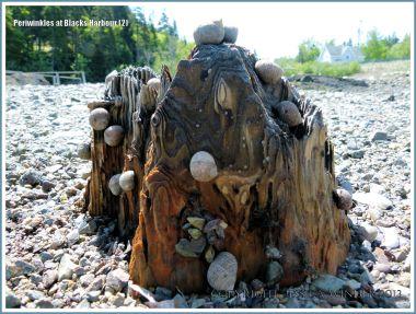 Winkles on wood on the seashore