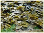 Low tide exposure of Fucoid seaweed growing on limestone