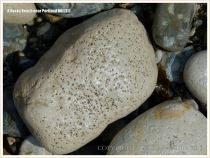 Cobble-sized limestone boulder on the beach with marine worm burrows.