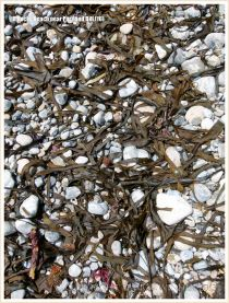 Dried seaweed on pebbles at the beach