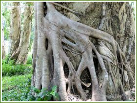 Intertwined vines around a tree in the Australian rainforest