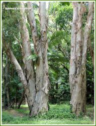 Paperbark trees in the Queensland rainforest