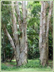 Paperbark trees in the Queensland rainforest