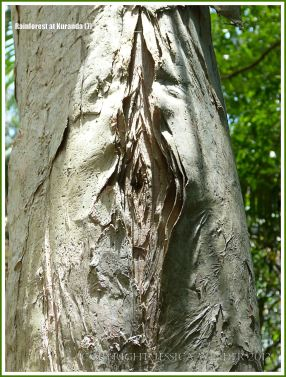 Close-up of peeling Paperbark tree trunk