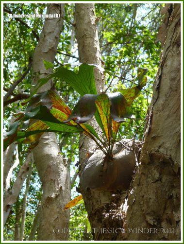 Staghorn or Elkhorn Fern growing in a tree in the Australian rainforest.