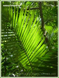 Sun shining through the fronds of a Calamus palm in the Australian rainforest
