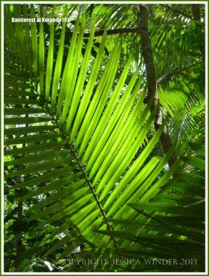 Sun shining through the fronds of a Calamus palm in the Australian rainforest