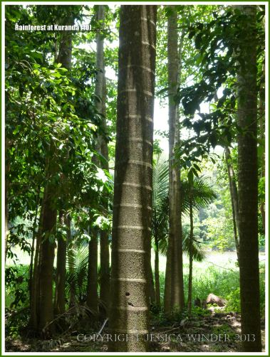 Striped trunk of a palm tree in the Australian rainforest