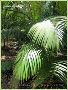 Curving fronds of sunlit palms in the rainforest