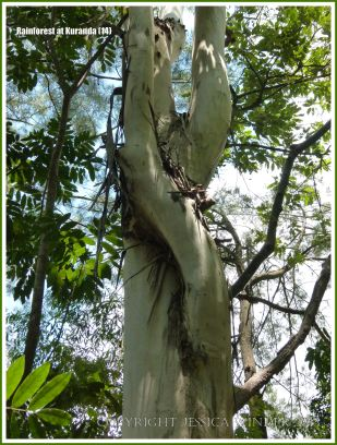 Twisted tree trunks in the rainforest at Kuranda