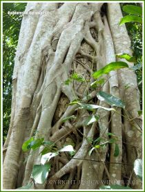 Close-up of a network of vines wrapped around a tree.