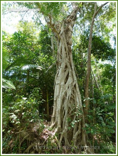 Twisted vines completely surrounding a tree trunk in the rainforest.