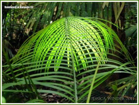 Wait-a-while Palm in the Australian rainforest at Kuranda
