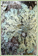 Lichen on a tree trunk in the Queensland rainforest