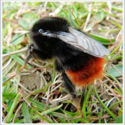 Red-tailed Bumble Bee