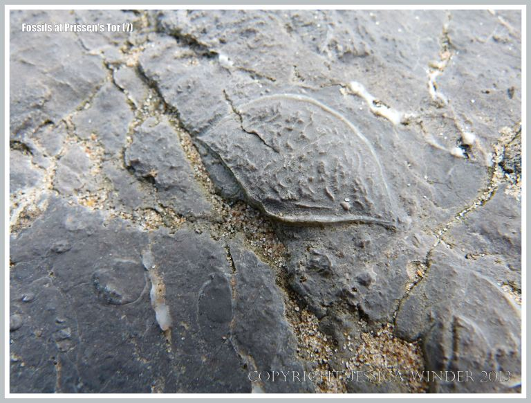 Fossil seashell (either brachiopod or bivalve) in High Tor Limestone at Prissen's Tor on the Gower Peninsula