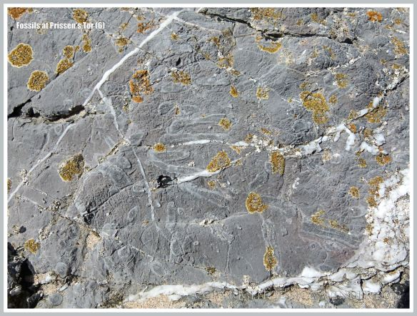 Coral fossils in High Tor Limestone at Prissen's Tor on the Gower Peninsula