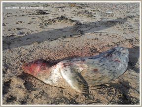 Young dead Grey Seal washed up on sandy beach
