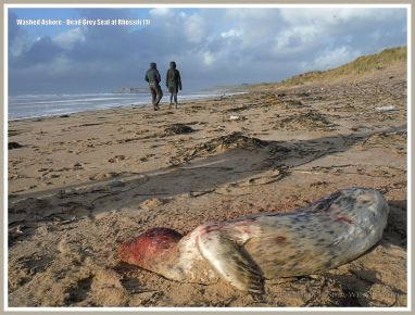 Young dead Grey Seal washed up on sandy beach with people walking by