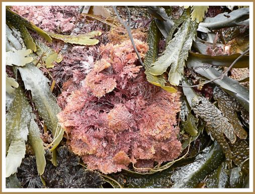 Common British seaweeds