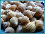 Black-lined Periwinkle Seashells