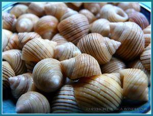 Black-lined Periwinkle Seashells