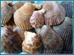 Variegated Scallop seashells