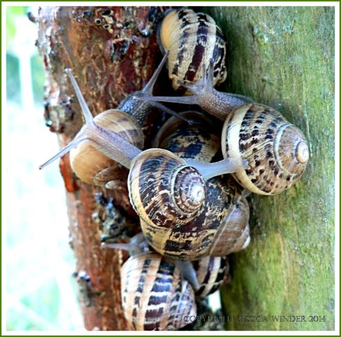 Cluster of Common Garden Snails (Helix aspersa Muller) on the trunk of a sapling