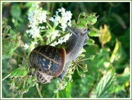 Common Garden Snail (Helix aspersa) foraging for food
