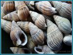 Netted Dog Whelk seashells