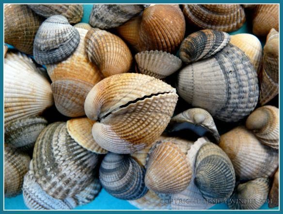 Common Cockle seashells
