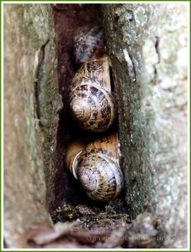 Cluster of Common Garden Snails (Helix aspersa) aestivating in a tree hollow
