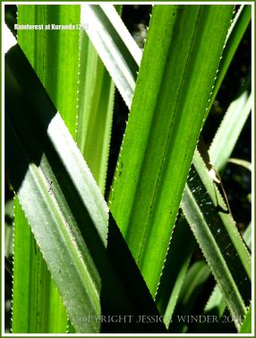 Shrub Pandanus leaves in the Queensland tropical rainforest