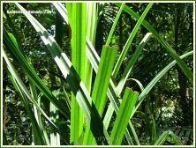 Pandanus leaves in the Daintree tropical rainforest